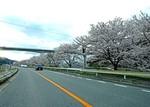 三次市三良坂、馬洗川沿いの桜が満開に