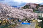 広島の観光課が選ぶ!桜スポットBEST3 【江田島市編】