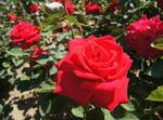 バラの香りに包まれる 福山ばら公園が、見頃へ
