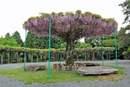 紫のパラソル!藤棚が見頃、神乃倉山公園