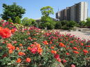 緑町公園、ピラミッド型ばら花壇や憩いの水辺など福山市の総合公園