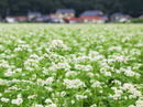そばの花が一面 満開へ、三次市君田に秋の風景