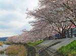美波羅川の千本桜、三次市に9km続く 1000本のサクラの帯