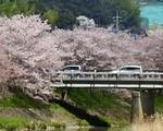 世羅・芦田川沿いの桜並木で、お散歩お花見