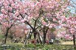 広島造幣局 花のまわりみち(通り抜け)59種の八重桜が咲き乱れ