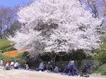 植物公園の桜は広島県内最多 67種、夜桜ライトアップも