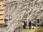 住吉堤防敷、桜並木のトンネルに包まれる廿日市お花見ストリート