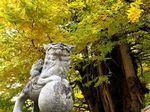 筒賀の大銀杏、まもなく見頃!大歳神社を包み込む樹齢1000年以上の巨木