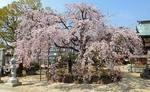 ふわり桜シャワー!観音神社のしだれ桜が満開