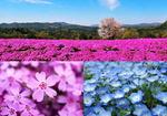 世羅 花夢の里、芝桜とネモフィラの丘2019 見ごろは