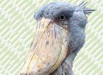 ハシビロコウ、話題の鳥が松江フォーゲルパークに