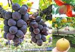 広島で果物狩りを楽しめる!梨・ぶどうなど秋の農園情報まとめ