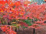 尾関山公園 紅葉のトンネルにウットリ!真っ赤に染まる三次の名所
