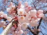 三景園 春祭り開催、梅としだれ桜で春爛漫