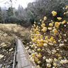 黄色の可愛いボンボン花、ミツマタの甘い春の香りに包まれる安芸高田の群生地
