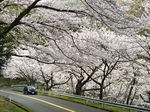 野呂山さざなみスカイライン、桜のトンネルが見頃へ
