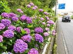 呉あじさいロード、カラフル紫陽花が400m続く 呉市長谷町の風景