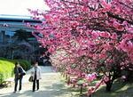 広島市 縮景園、茶会は中止も梅は見ごろへ