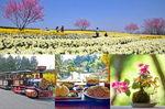 春スペシャル!スイセン・桜に芸備線など、花盛りの日帰り備北旅