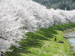 桜のパノラマ絶景!三原・白竜湖が満開のサクラで春うらら