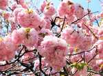 広島造幣局の桜「花のまわりみち2021」7日間限定開放