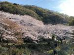 福山に桜の穴場スポット、建部神社の桜が華やか