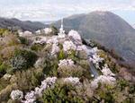 筆影山・竜王山の桜が満開、夜はライトアップでサクラ浮かぶ展望台