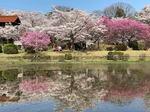 棲真寺公園、広島空港そばに桜の癒しスポット