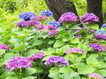 梅雨にも映える三原のアジサイスポット 三景園 花まつり