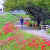 お散歩道を彩るヒガンバナ、広島市西区・新庄公園そばで