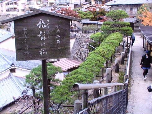 宮島 塔之岡茶屋の目の前にある 龍髯の松