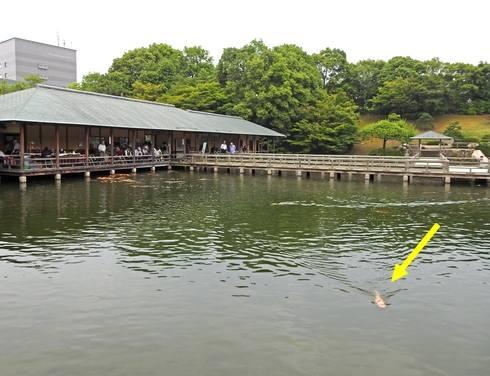 三景園 鯉がすぐ近づいてくる