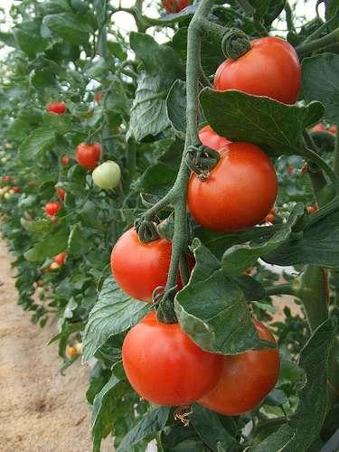 万田酵素の農場、ミディトマト