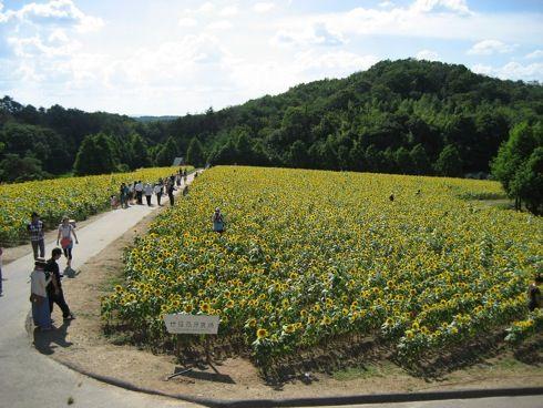 世羅高原農場 ひまわり祭 画像3