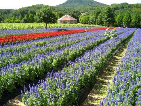 世羅高原農場 サルビアの花