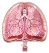 臓器ポーチ 肺
