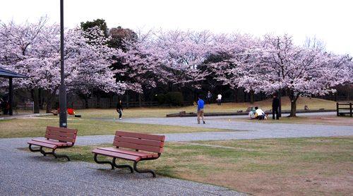 宮島SA 桜が満開、スターバックス周辺を彩る