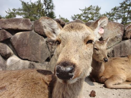 宮島「鹿にエサをやらないで」