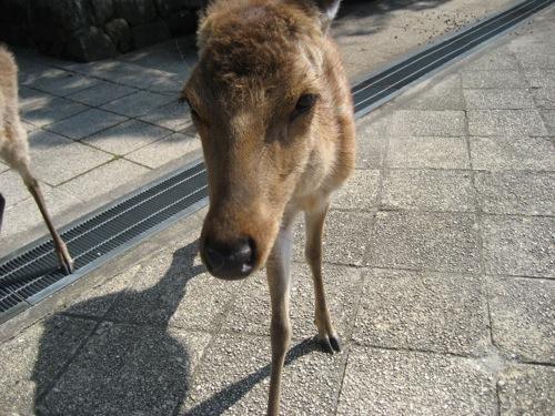 宮島の鹿 画像2