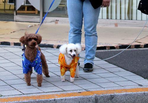 広島 とうかさん 犬も浴衣で