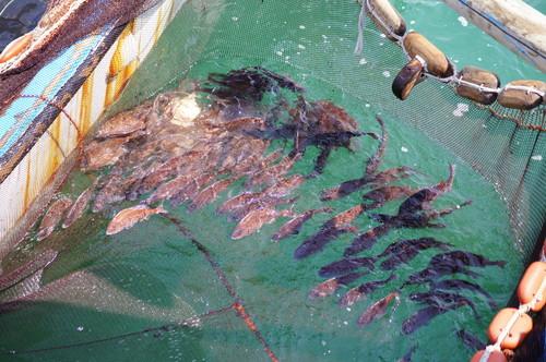 福山市 鞆の浦 鯛網の画像12