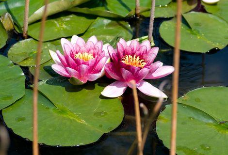 睡蓮まつり、極楽寺に約500本の睡蓮の花