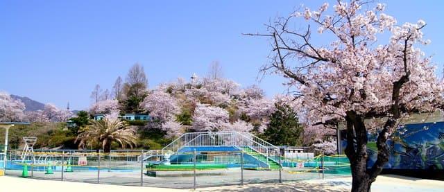 ちゅーピーパークの桜、満開の様子