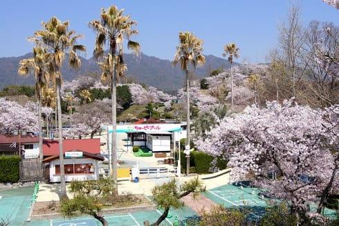ちゅーピーパークの桜、宮島の対岸で桜が満開!