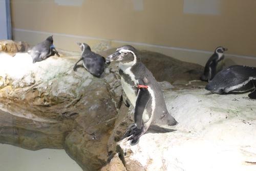 宮島水族館(みやじマリン)の ペンギンの愛嬌