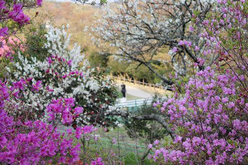 棲真寺公園 広島空港大橋を眺める展望台とお花見広場3