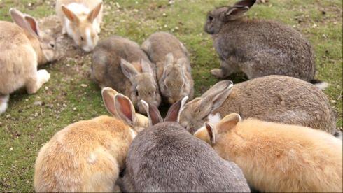 うさぎ島 大久野島の休暇村前にどんどん集まってきたウサギたち