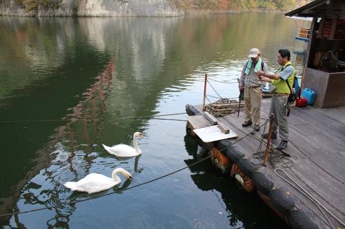 帝釈峡 遊覧船のりばの白鳥 画像
