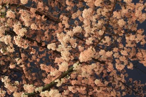 江波山公園の桜 画像1