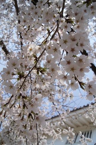 福山城の桜(お花見スポット) 画像5